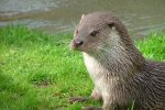 Is it time for the otter to be controlled?