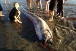 Giant snake-like fish found on beach in Oceanside, California, USA