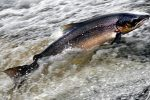Fishery boards call for moratorium on killing salmon