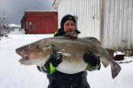 Monster cod at the start of the Norwegian fishing season