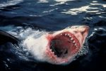4,000lb Great White Shark caught by a British angler