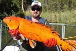 Army of mutant goldfish dumped in rivers are growing ten times their regular size