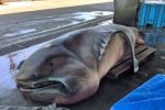 Rare Megamouth shark caught in Japan