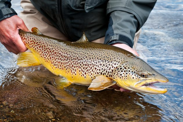 Brown trout fish around for Trout fishing spots near me