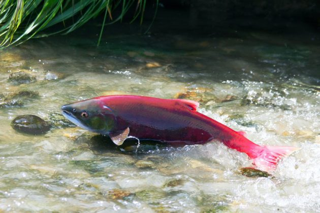 Salmon population increase in river Wye tributaries Arrow